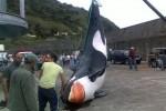 Toter Orca vor Ribeira Quente im Meer entdeckt