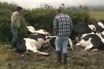 Blitzsschlag tötet auf Terceira 19 Rinder