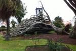 Alter Drachenbaum in Horta altersschwach zusammengeborchen