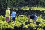 Weinernte 2014 auf den Azoren