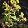 Neue Pflanzenart auf Santa Maria entdeckt